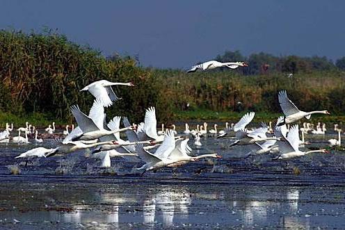 Duna Delta hattyúk