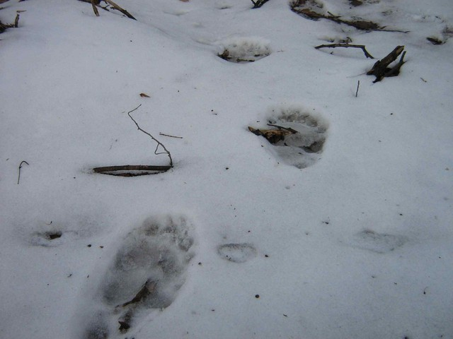medve nyom hó